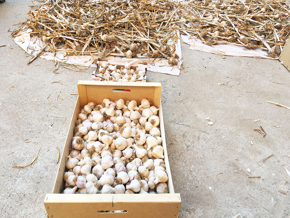 La cosecha del año de ajo. Ya limpios en la caja